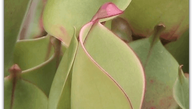 Vol. 3 - Heliamphora by Sarracenia Northwest