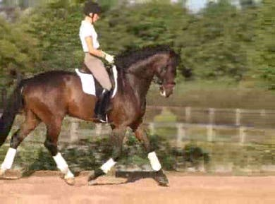 Gaits and counter canter by Dressage Today Online