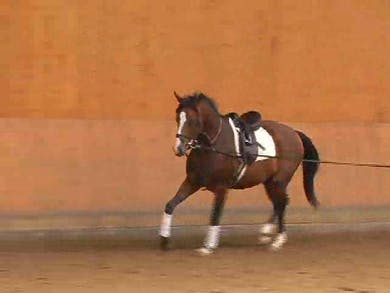 Proper lunging of a 3 yr. old, discussion of equipment used by Dressage Today Online